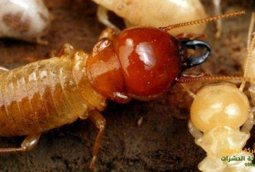 أفضل طرق القضاء على النمل الأبيض