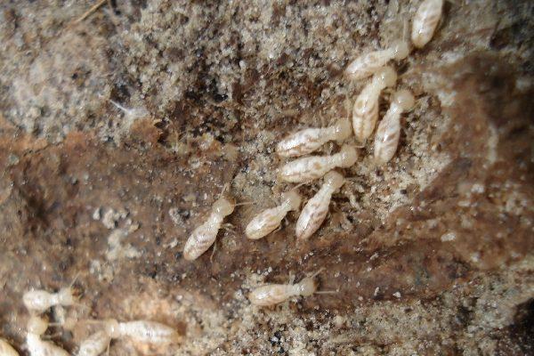 تجمعات النمل الأبيض