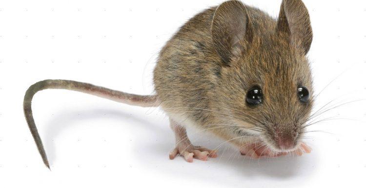 4 طرق فعالة فى مكافحة الفئران