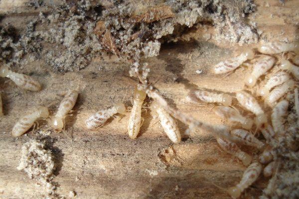 شكل حشرة العتة
