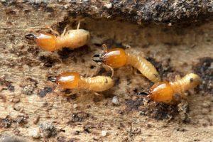 انواع مبيدات النمل الابيض