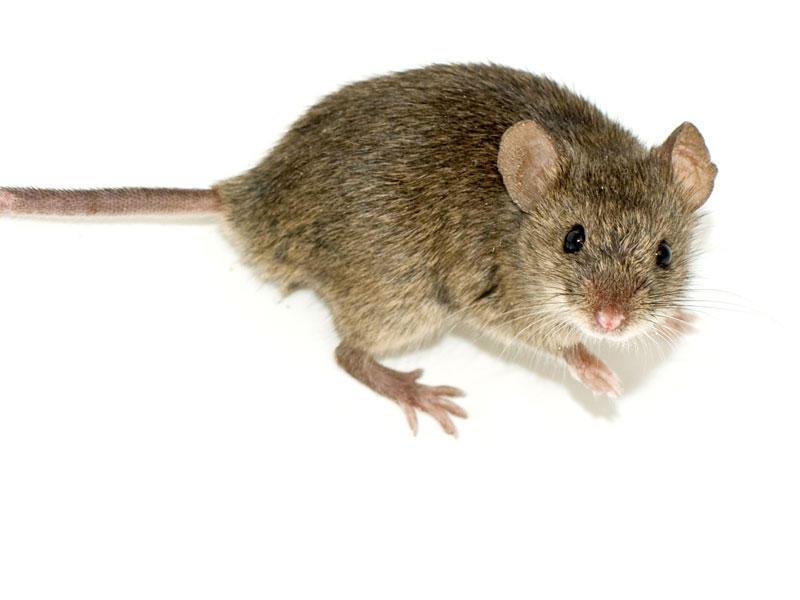 مكافحة الفئران بجدة