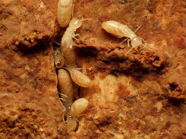 أضرار النمل الابيض