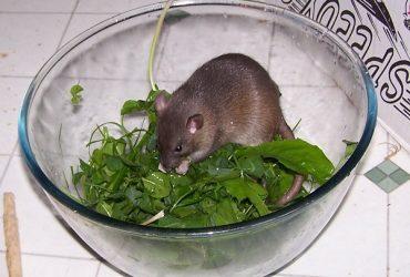 كيف تكتشف وجود فئران فى منزلك