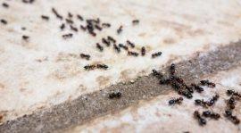 النمل الأسود