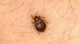 صور حشرة البق